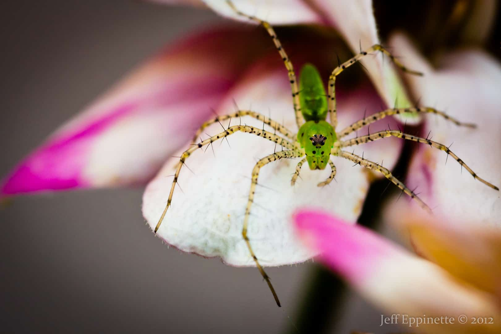 Green Lynx Spider with flower green