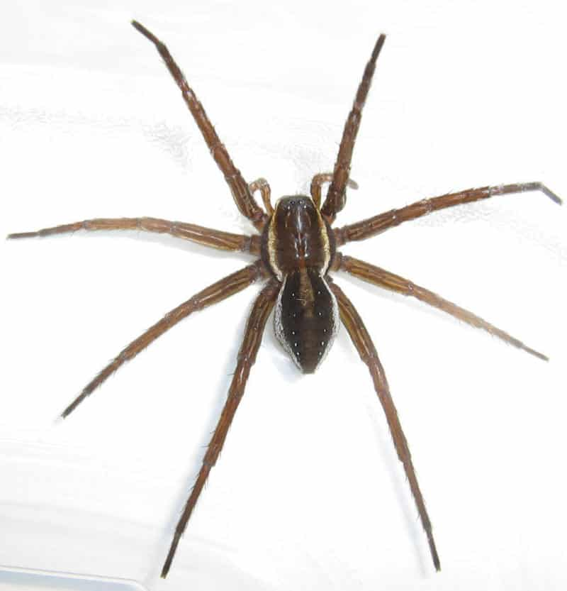 Fishing Spiders – Dolomedes