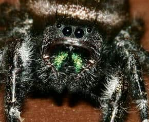 Daring Jumping Spiders