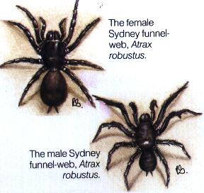 Funnel-Web Spiders in Australia