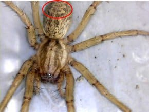 Hobo Spider – Eratigena agrestis