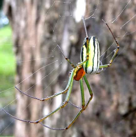 Leucage Orchard Weaver Spiders Photos