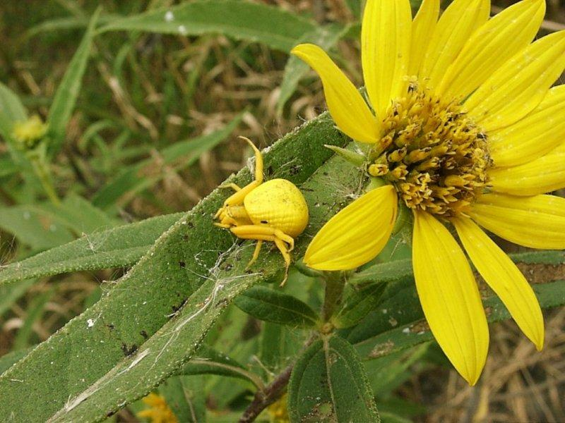 1. Yellow Crab Spider